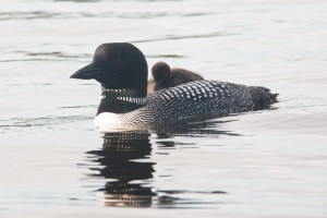 Watchic Lake Loon with Chick on back 2013