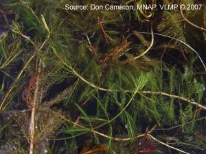 Eurasian Water Milfoil Insitu ME VLMP