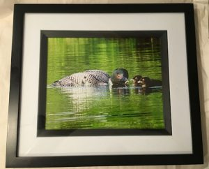Loon Catching Fish with Chicks Photo