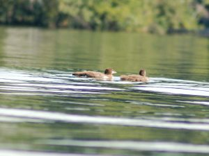 Loon Chicks August 2016 c