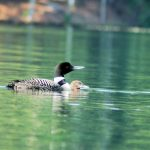 Loon with Chicks August 2016 c