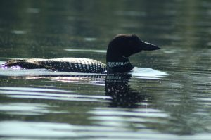 Watchic Lake Adult Loon June 2017