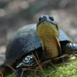 Blanding's Turtles Around Watchic Need Your Help