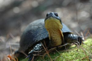 Maine Endangered Blanding's Turtle close up