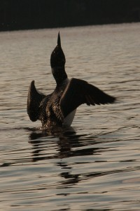 Watchic Lake Leaping Loon 2013