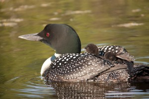 Watchic Lake Swamp Loon with Chick on back 2011