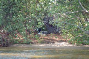 Loon Nesting 6-22-2016