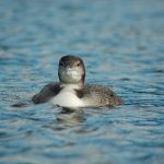 Loon Update Fall 2016
