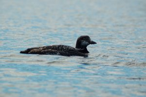 Watchic-Lake-Loon-On-Surface-Sept-2016