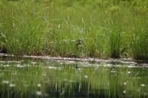 Watchic Lake Nesting Loon June 2017
