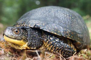 Maine Endangered Blanding's Turtle peering from shell (Derek Yorks)