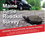 ME Audubon Turtle Roadkill Survey – Volunteers Needed