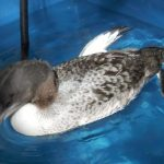 Injured Loon Chick Rescued, But Did Not Recover