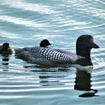 August Loon News